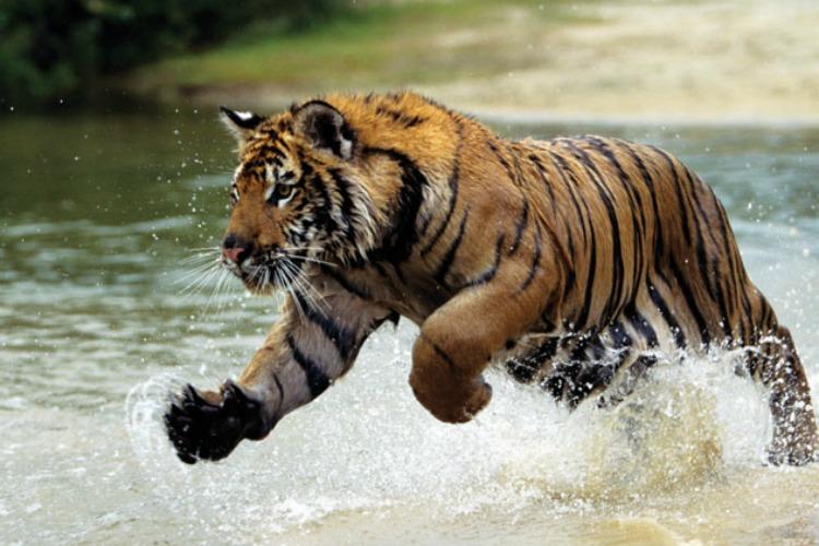 Adopt Responsible TigerTourism